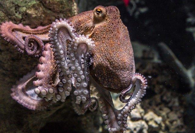 živá chobotnice